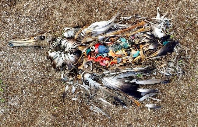 Albatroz m orto por resíduos plásticos ingeridos.