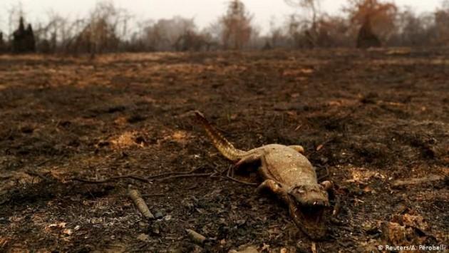 Cadáver de um jacaré queimado pelo fogo que atinge a região do Pantanal