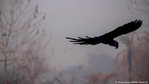 Uma arara-azul voa em meio à fumaça perto da rodovia Transpantaneira