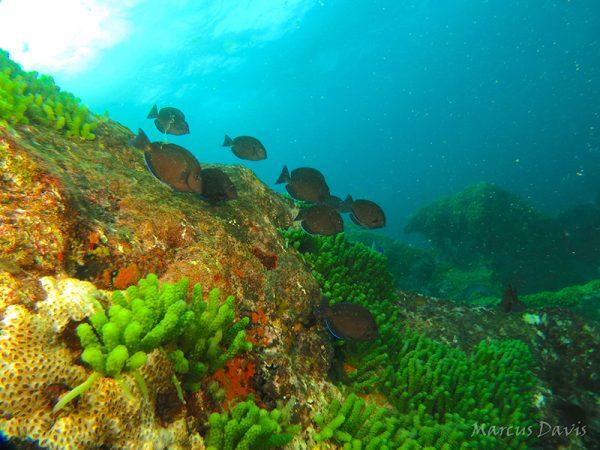 """As formações rochosas do parcel, também chamadas de """"cabeços"""", abrigam enorme diversidade de organismos, como algas, corais e peixes, como esses peixes-cirurgiões (Acanthurus chirurgus). (foto: Marcus Davis)"""