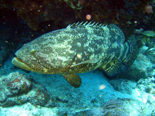 O mero (Epinephelus itajara) é um dos maiores peixes encontrados no parcel de Manuel Luís. Ele pode chegar a mais de 2 metros e quase meia tonelada, mas infelizmente está criticamente ameaçado de extinção devido à pesca predatória. (foto: Tom/ Flickr – CC BY-NC 2.0)