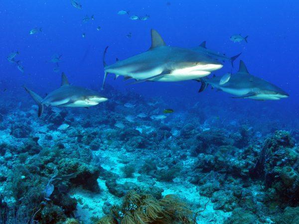 O parcel de Manuel Luís atua como importante área de reprodução e berçário para inúmeros animais marinhos, como o tubarão-dos-recifes (Carcharinus perezi), também conhecido como tubarão-bico-fino. (foto: Jack/ Flickr – CC BY-NC-ND 2.0)