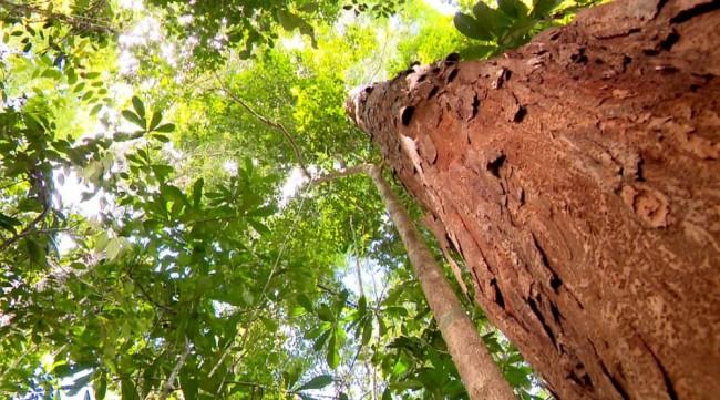 A madeira do pau-brasil é muito pesada, lisa e dura (Foto: Devanir Gino/TG)