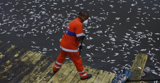O biólogo Mario Moscatelli recolheu, neste domingo, 7 de julho, cerca de 1 tonelada de peixes mortos na Lagoa da Tijuca, na Zona Oeste da cidade. Segundo ele, as espécies, a maioria tilápias, foram prejudicas pelo lançamento de esgoto na água.