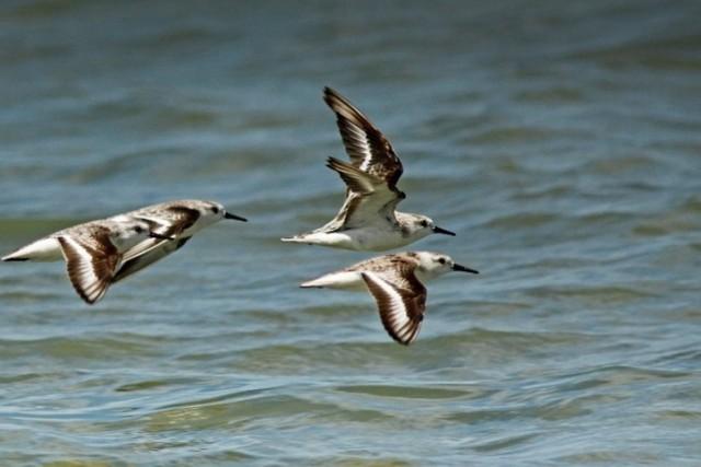 Pilrito-das-praias (ou Calidris alba), uma das aves catalogadas no inventário (Foto: Fabio Nunes)
