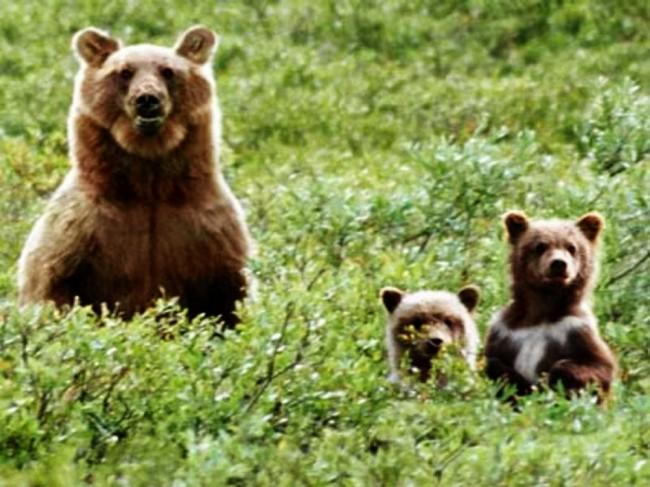 Ursos pardos em  seu habitat natural ameaçado.