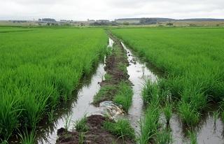 Lavoura em Bagé (RS), exemplo de agricultura sustentável. Arroz no verão, pastagem no inverno (Imagem: Reprodução/Jornal da Unicamp)