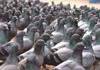 """O pombo-doméstico (foto) tem o nome de """"rato de asas"""" pela quantidade de doenças que transmite. Imagem: Reprodução/Internet (em atendimento à norma 9.610/98)"""