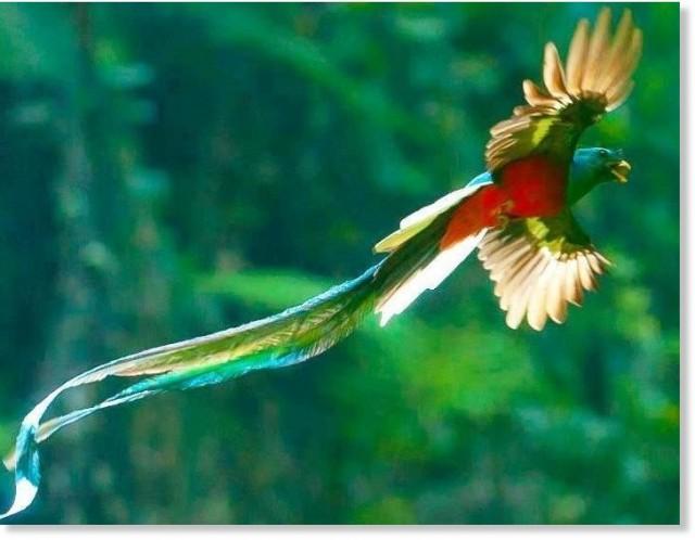 Quetzal, vive no México e Guatemala (imagem internet)