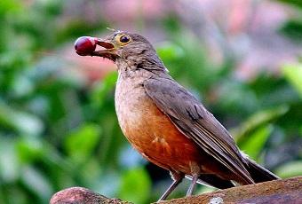 O canto do sabiá-laranjeira (foto), tira o sono de paulistanos. Imagem: Reprodução/Internet (em atendimento à norma legal 9.610/98)