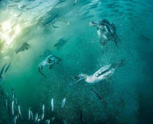 Depois de atingir a superfície a cerca de 100 quilômetros por hora, os atobás-do-cabo se banqueteiam com sardinhas calóricas. A foto flagra o primeiro indício – em cima, à direita – de cleptoparasitismo subaquático: a ave rouba de outra um peixe. FOTO DE THOMAS P. PESCHAK