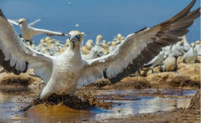 Na Ilha Bird, a água acumulada pelas fortes chuvas atrapalha o pouso dos atobás-do-cabo. A previsão é de precipitações mais freqüentes e intensas, e as inundações podem causar perda de ovos em larga escala. A alteração dos padrões climáticos pode prejudicar outras aves, forçando os peixes que lhes alimentam a se afastar das suas áreas de reprodução. FOTO DE THOMAS P. PESCHAK