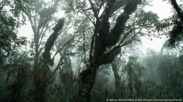 """Sequoia africana, também chamada de """"kosso"""", cujas raízes possuem propriedades medicinais"""