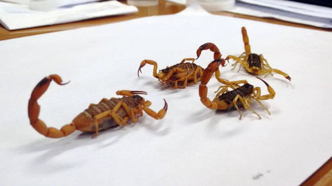 Escorpião amarelo: inseticida comum não mata o animal e só aumenta a sua reprodução