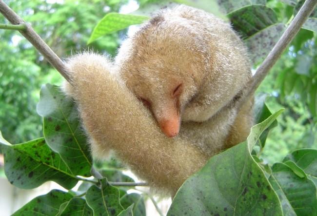 O tamanduaí é o menor dos tamanduás medindo aproximadamente 20 cm de corpo e cerca de 25 cm de cauda