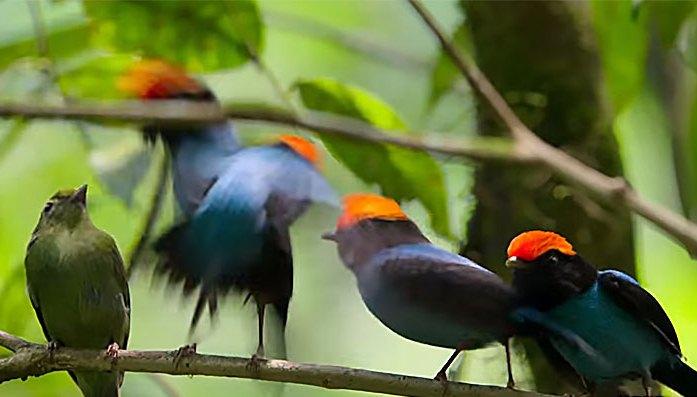 tangarás-dançarinos machos dançando para a fêmea (cor verde)