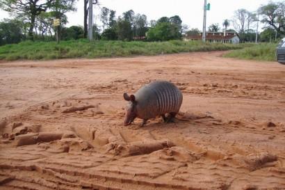 Habitat natural do tatu-bola ameaçado de invasão.