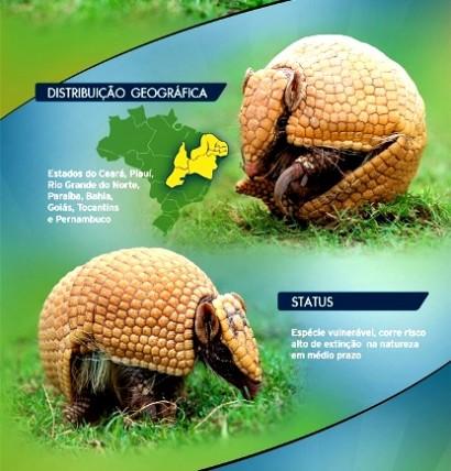 Tatu-bola, espécie ameaçada de extinção.