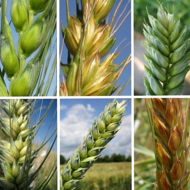 Diferentes variedades de trigo utilizadas na pesquisa: no total, foram mais de 4 mil amostras analisadas