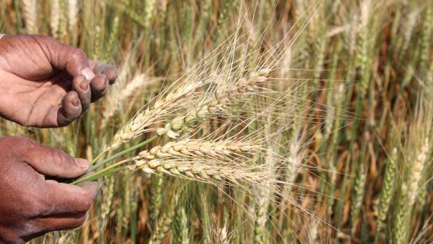 Pesquisadores analisaram geneticamente 4506 amostras de trigo de 105 países diferentes e constataram que a Revolução Verde reduziu a variabilidade do cereal