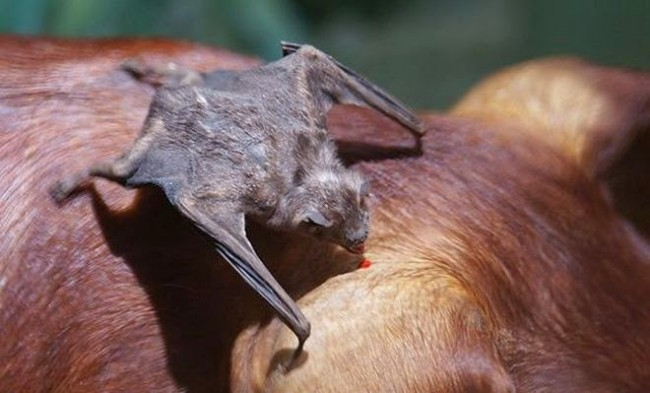 vampiro-morcego