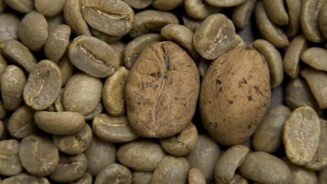O café Ambongo, de Madagascar (grãos maiores) é uma das variedades em risco — Foto: RGB Kew