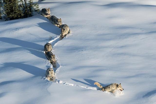 levando a cria para novos campos de caça... (foto: Aaron Huey - National Geographic Magazine)